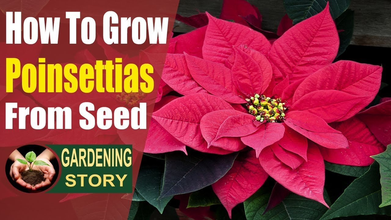 How To Grow Poinsettias From Seed Youtube