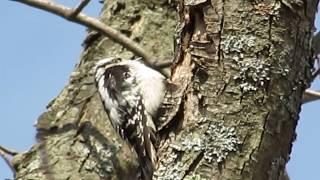 Video Woodpecker pecking a tree in our backyard (家の庭のキツツキ) download MP3, 3GP, MP4, WEBM, AVI, FLV Oktober 2018