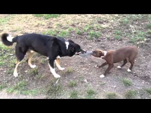 Our Cute Border Collie Puppy Zipper and Toby Rocket playing!