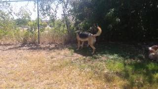 Jet, The German Shepherd Socializing │canine Behavior Solutions │austin Dog Training