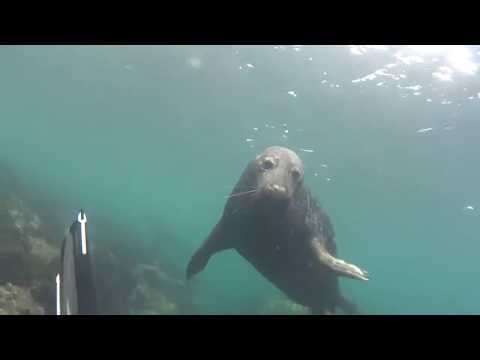 Diveworld Videos | Farne Island Seals#2#2017