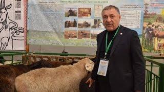Отличие Эдильбаевской породы овец от Гиссарской. Гишларкаев Е.И.
