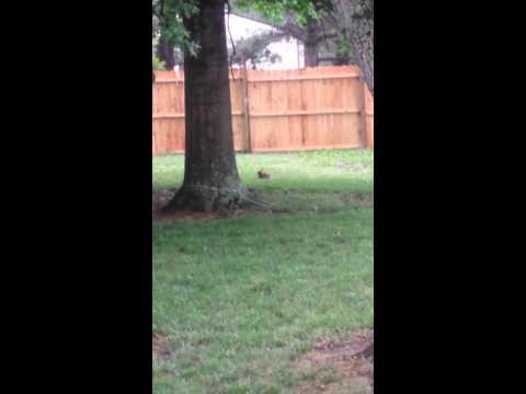Pitbulls vs Rabbit