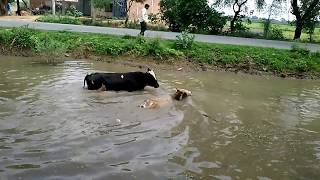 #Tiktok.Dangerous Bull Fight Accidents Compilation 2018 Lucky and Funny People Fail Video Clips