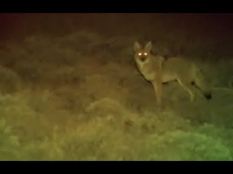 Coyote Kills - Night Hunting