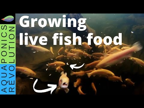 Growing Live Fish Food | Insect Fish Food For Aquaponics