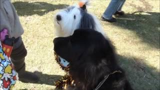 辻堂海浜公園秋祭りでニューファンドランドのトアとオールドイングリッ...