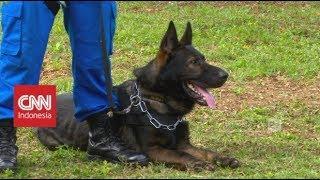 Mengenal K-9, Anjing Pemburu Narkoba Milik BNN