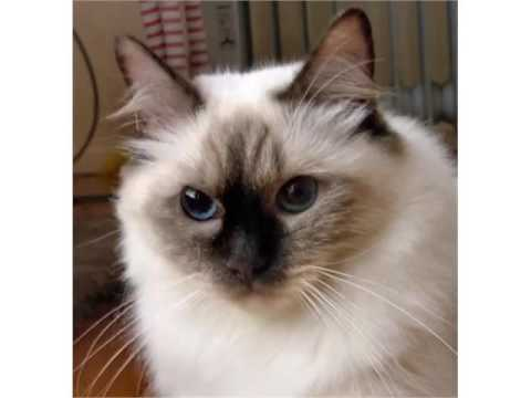Rag Doll Cat Pictures