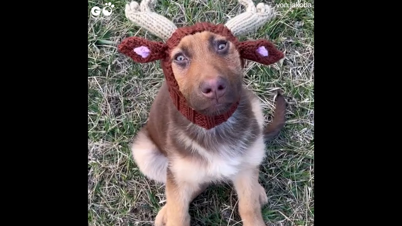 German Shepherd Puppy Wears Cute Horns   Wait To See The Sweet Look On His Face   Go Animals