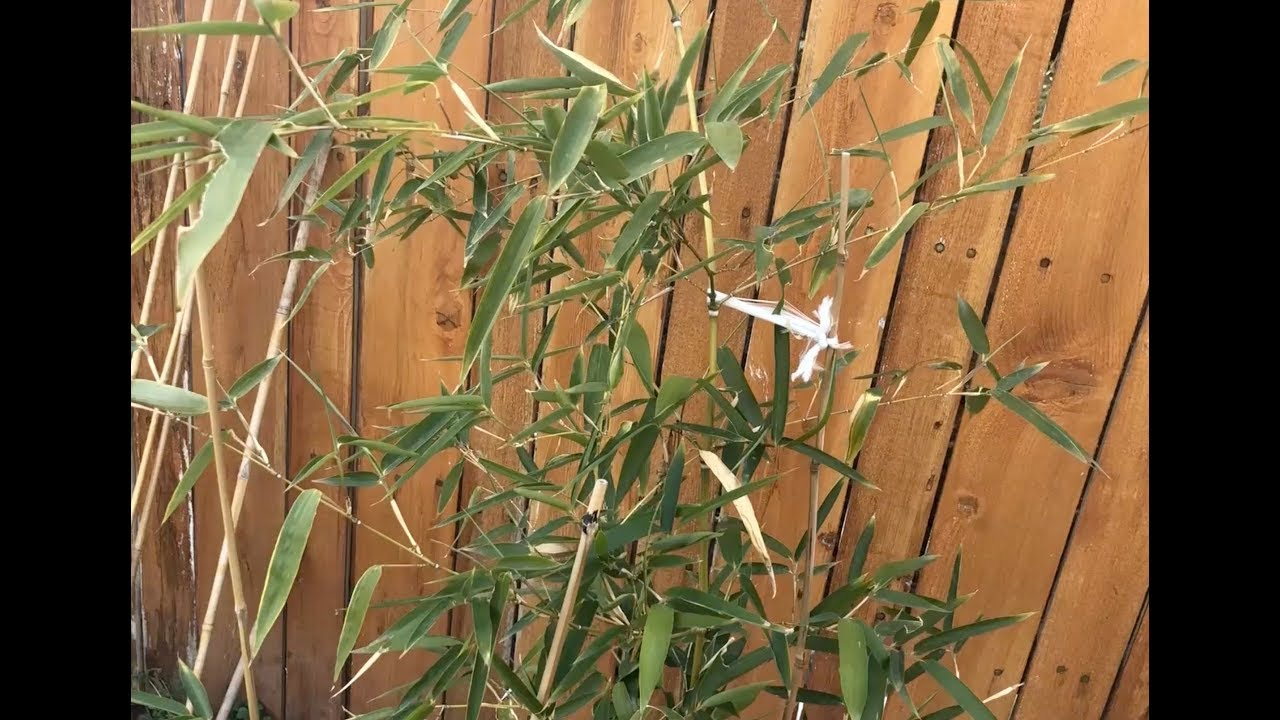 Cold Hardy Bamboo In The Winter Growing In Northern Utah Youtube