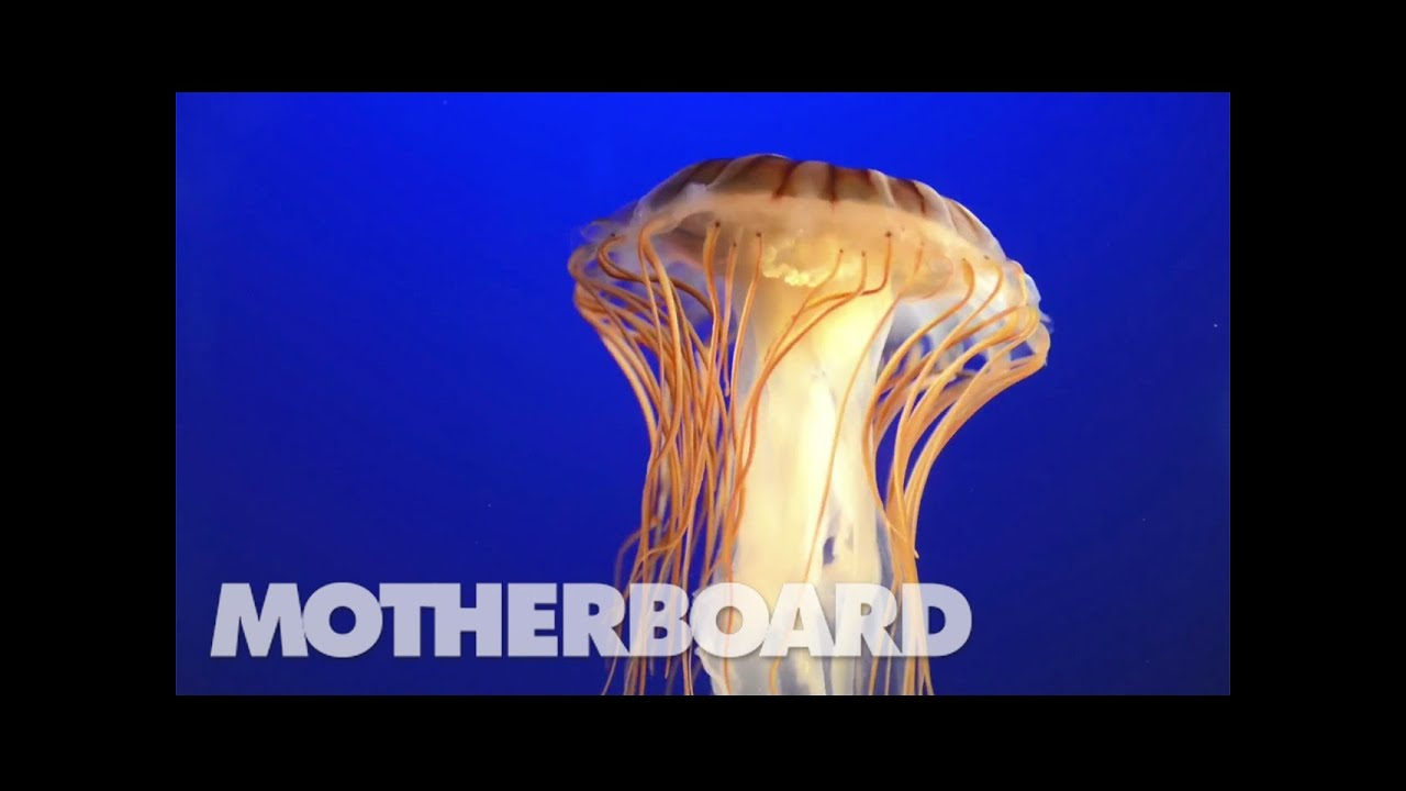 The Jellyfish That Holds a Key to Immortality - YouTube