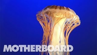 The Jellyfish That Holds a Key to Immortality