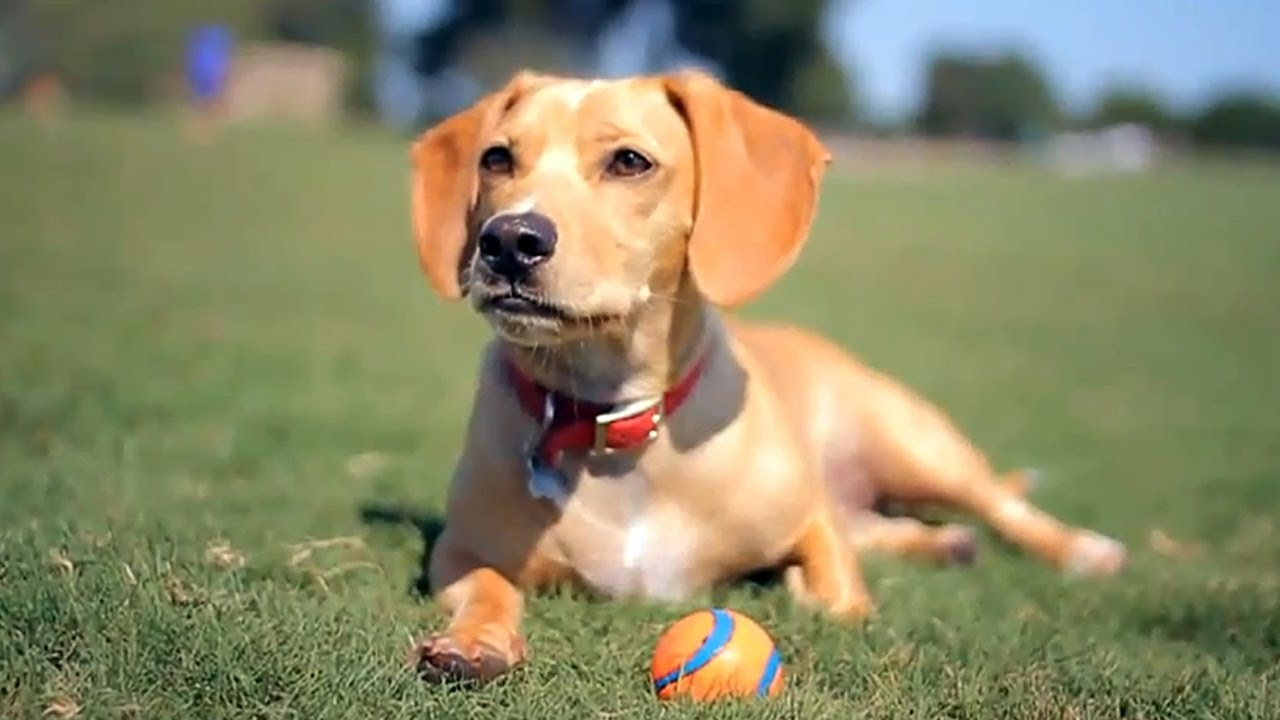 Dachshund Lab Mix Relaxes With A Ball The Daily Puppy