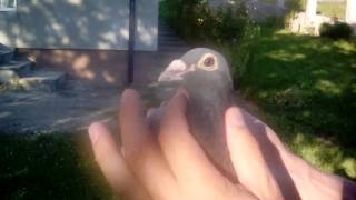 Racing pigeons for sale 2016 - July .