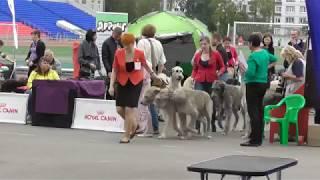 Ирландский волкодав, интернациональная выставка собак в Великом Новгороде ранга CACIB