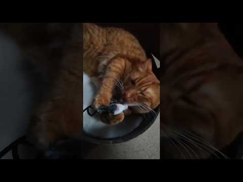 Curare the Egyptian Mau Mix Cat licks and plays with toy