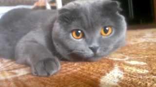 Шотландская Вислоухая Кошка - Невероятные Глаза