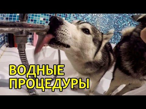 МАЛАМУТ И ХАСКИ КУПАЮТСЯ / Malamute and Husky take a bath