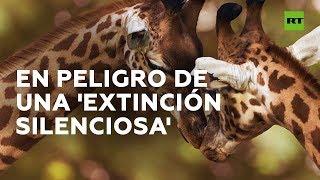 Las jirafas en África se encuentran en grave peligro | RT Play