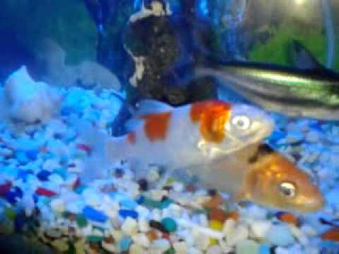 Japanese koi fish with rare black ghost fish youtube for Rare koi fish