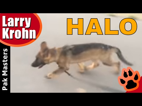 The Greatest Puppy Training Video Ever / Halo the German Shepherd Puppy