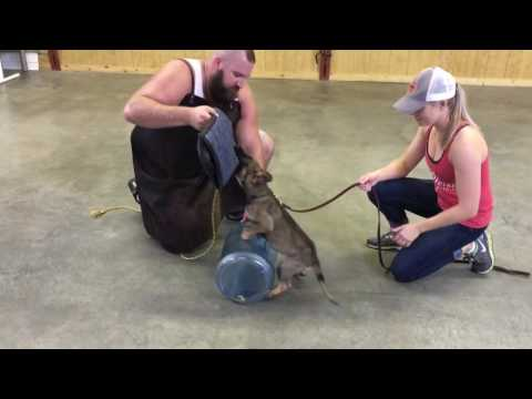 "Powerhouse German Shepherd Puppy ""Zach"" Protection Trained Super  Dog For Sale"