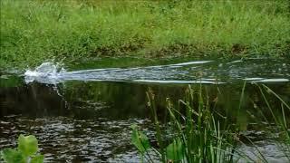 Sambaran Ikan Toman Gila hem..hem.... di rawa rawa Sumatera Jambi Bungo Sungai Buluh mp3