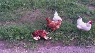 Куры-каннибалы(Куры жрут дохлую курицу. Экзотика Оо., 2012-09-17T17:48:42.000Z)