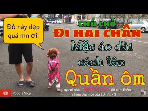 Chú Chó Đi Hai Chân mặc Áo Dài cách tân và quần bó đầu tiên tại VN(dogs walk on two legs)Poodle vlog