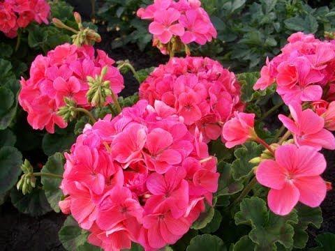 Красавица пеларгония-украшение вашего садa ! Герань. Pelargonium. Цветы в моем саду, в июне 2018.