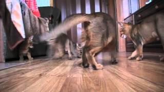 утро абиссинских котят