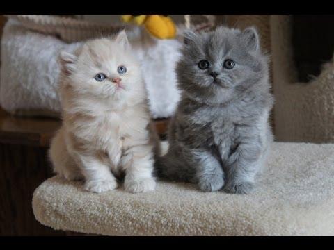 Kremuś Ronaldo i niebieska Ryanka  Amazing Aisha-  British Longhair Kittens- koty brytyjskie