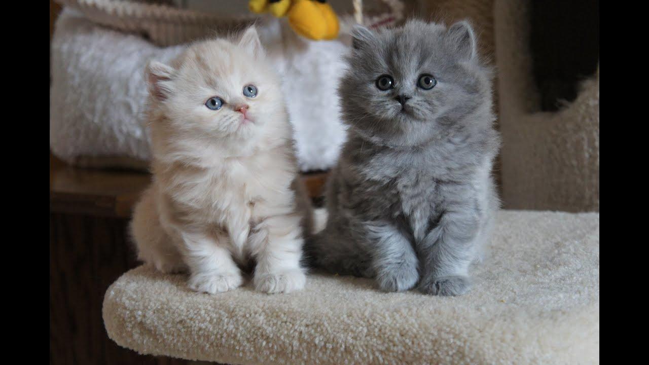 Cute Little Gray Cat For Wallpaper Kremuś Ronaldo I Niebieska Ryanka Amazing Aisha British