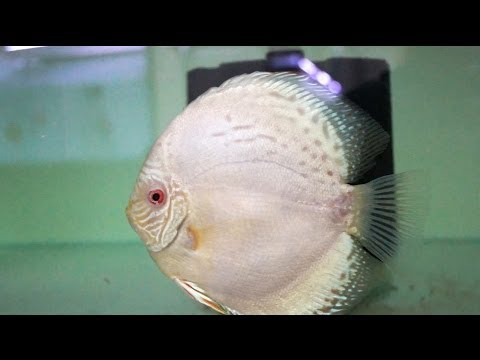 Cobalt Blue Albino Discus Pair | Diskus Zuchtpaar Kobalt-Blau-Albino