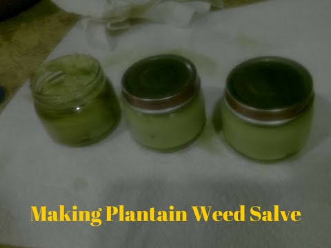 Making Plantain Weed Salve