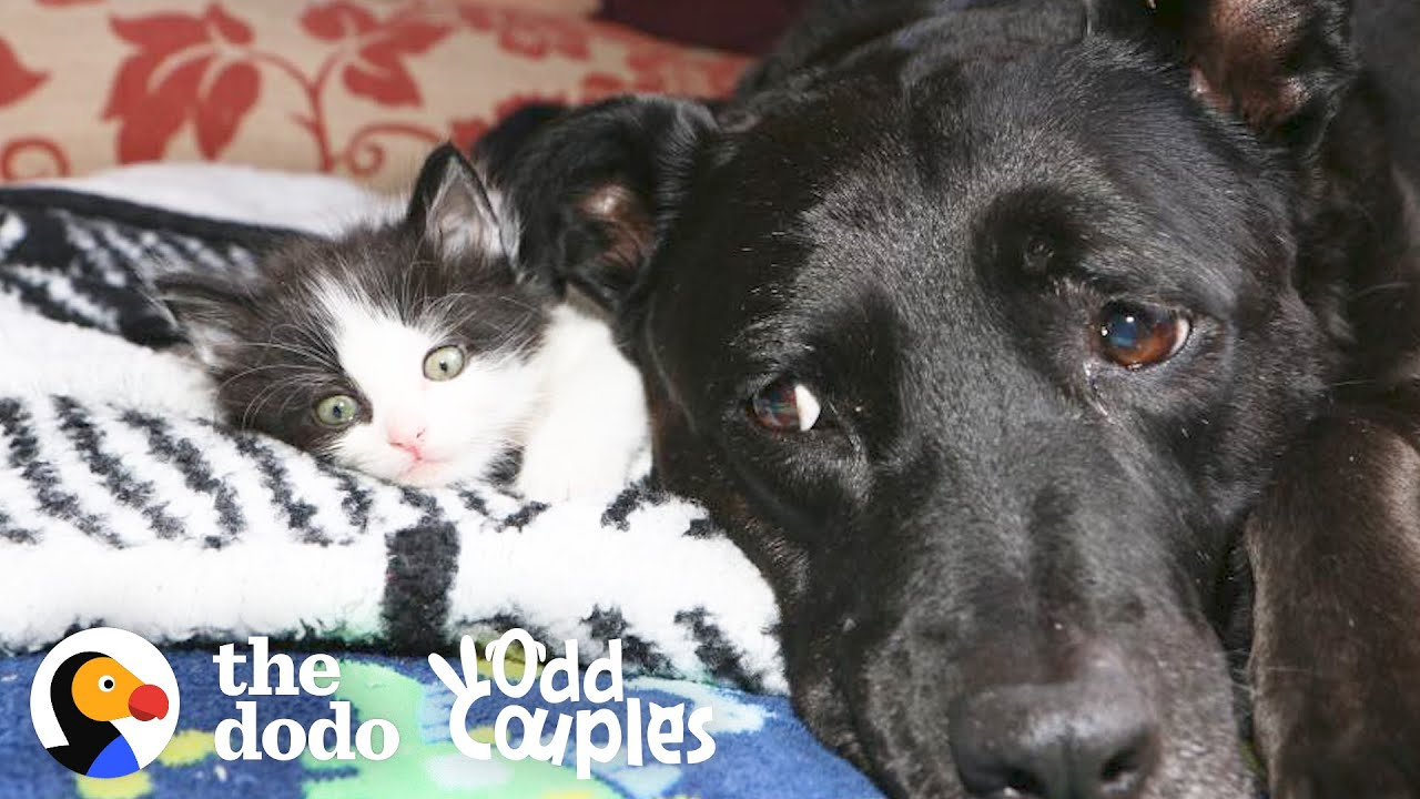 Dog Is So Gentle And Patient With Her Foster Kittens | The Dodo Odd Couples