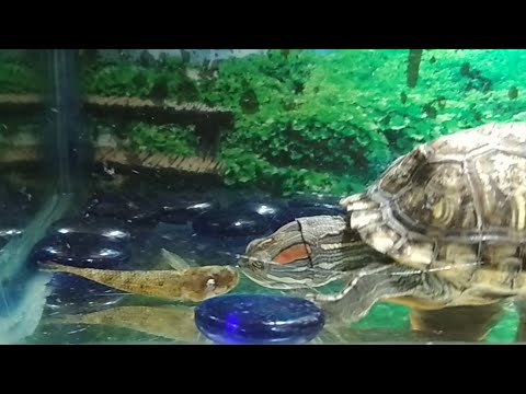 Turtle Eating Live Guppies Fish & Snake Head Fish