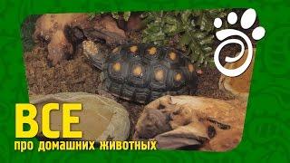 Угольная Черепаха. Все О Домашних Животных