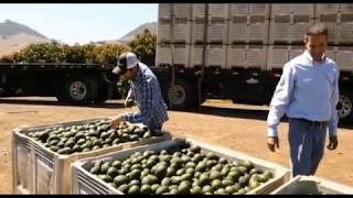 Kỹ thuật trồng Bơ ở ISRAEL