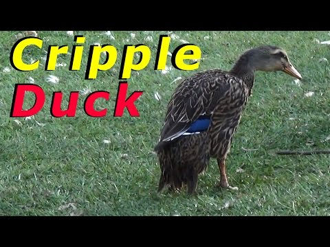 Cripple Duck - 1am Wake Up Call - Ducks Don't Want To Come Home #63 Raising Free Range Ducks