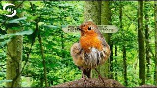 Vogelgezwitscher im Wald bei Morgendämmerung (23 Min. - ohne Störgeräusche)