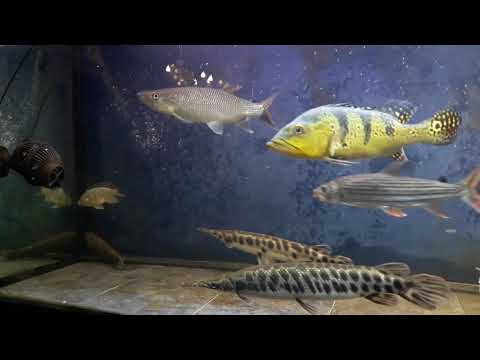 Vampire Fish Live Feeding - Tilapia - Instagram - Aqua_predator