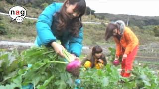 赤カブの収穫。 『採れたけど...』と愛美ちゃんが一言。 採れたけどどう...