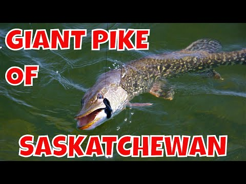 Fly In Trips For Giant Northern Pike | Saskatchewan