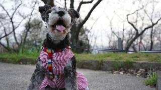 散歩のついでに、夜桜見物?うちに帰ってのスイーツは、、、笑 うーちゃ...