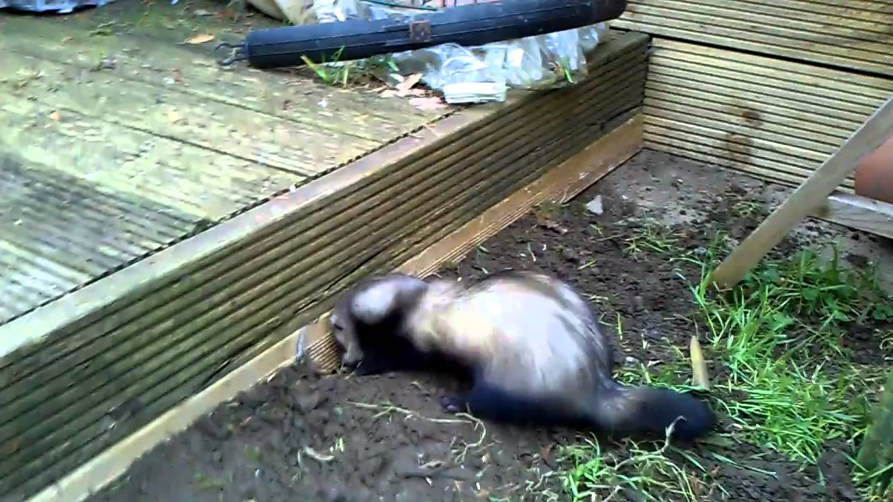 foto How to Stop a Ferret from Digging in Houseplants