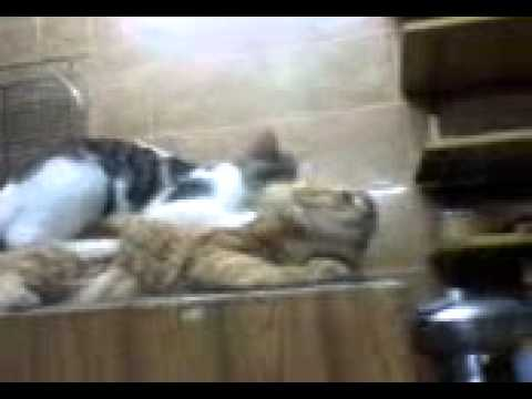 gay cat mating youtube