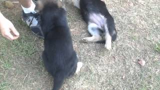 German Shepherd Puppies For Sale Akc Registered