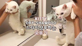 드라이샴푸 하는 꼬부기 - 1살+3개월 오드아이 먼치킨 고양이 Munchkin Cat Gato マンチカンねこ 短足猫